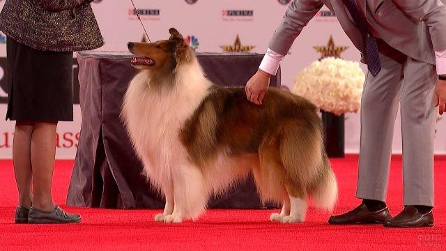 Колли соболиного окраса на выставке собак