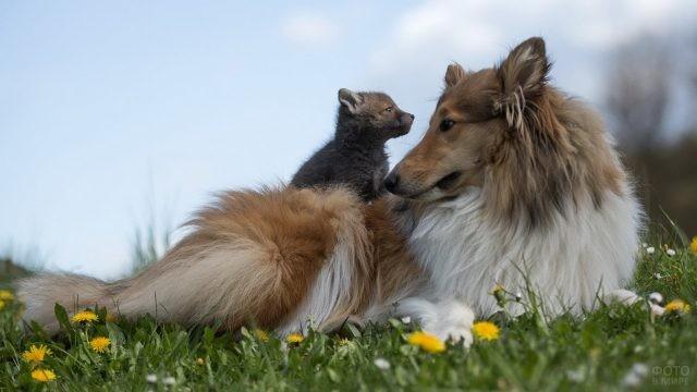 Лисёнок на спине собаки на лугу