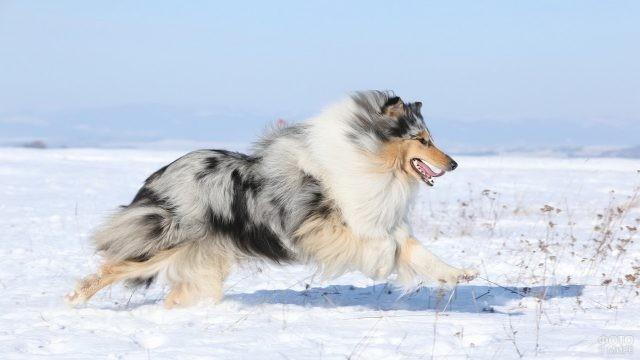 Мраморная колли бежит по снегу