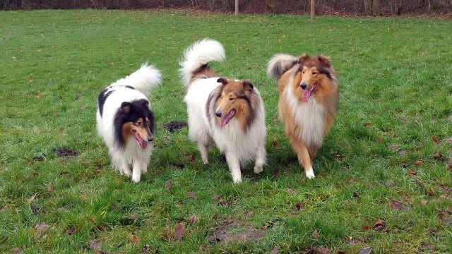 Пастушьи собаки прогуливаются по газону