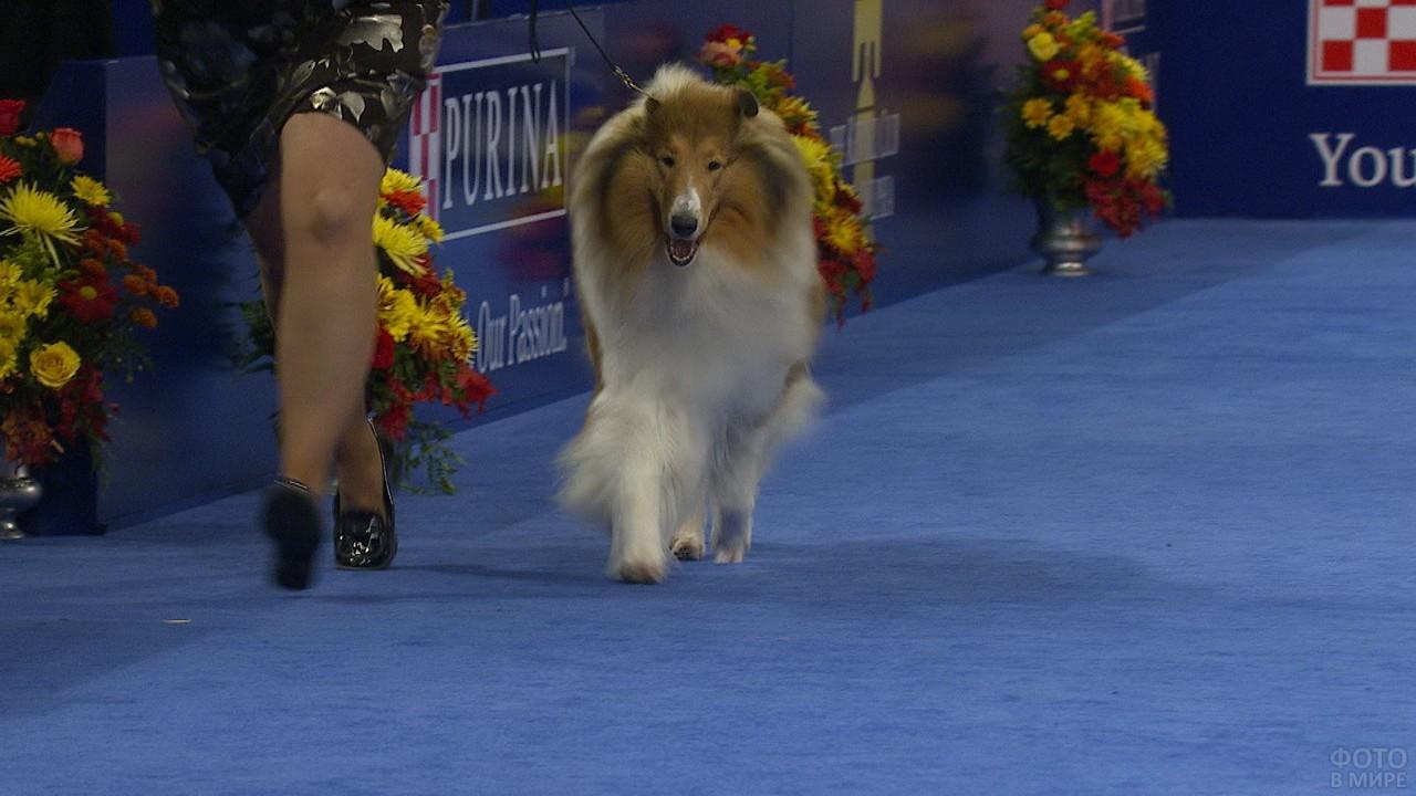 Породистая собака на выставке идёт по ковру