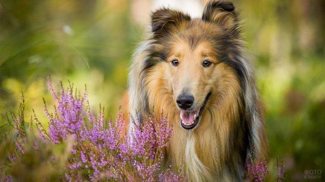 Породистая собака с лиловыми цветами на природе