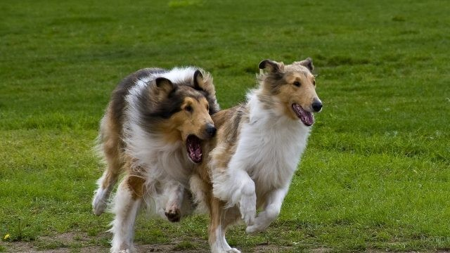 Резвые собаки бегают по траве