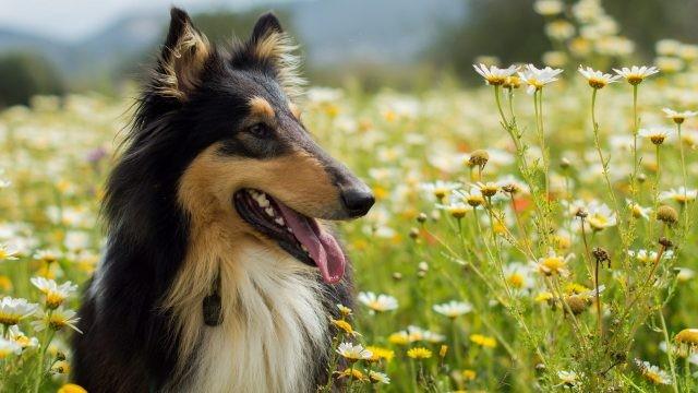 Собачка высунула язык в ромашковом поле