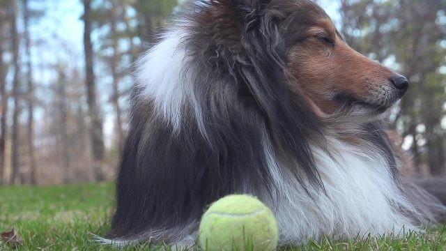 Собака отвернулась от мяча, лёжа на траве