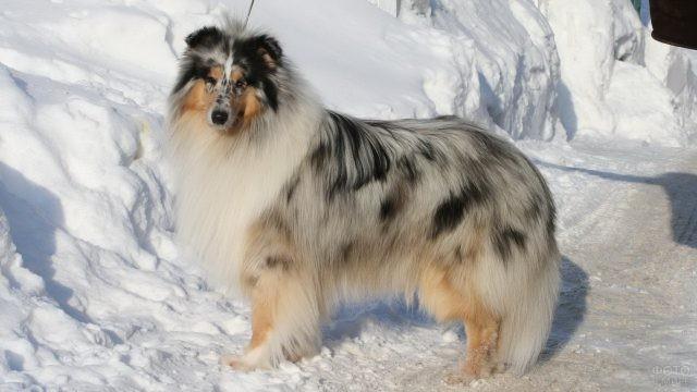 Собака с мраморным окрасом на снегу