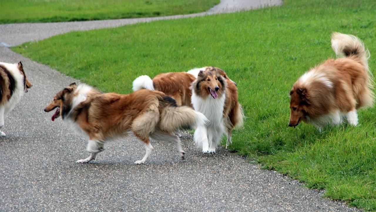 Стая собак в парке