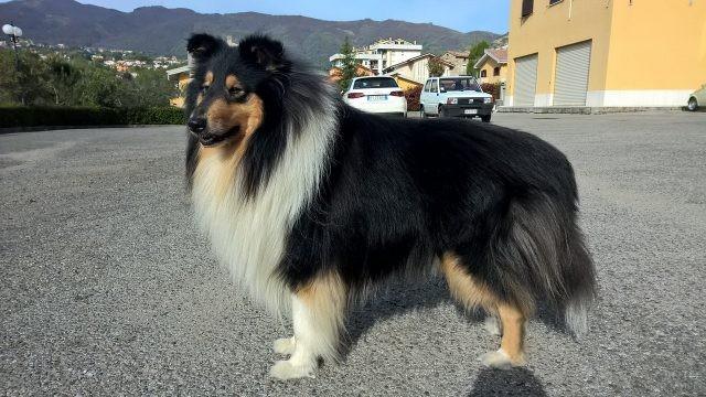Триколорный окрас у собаки породы колли