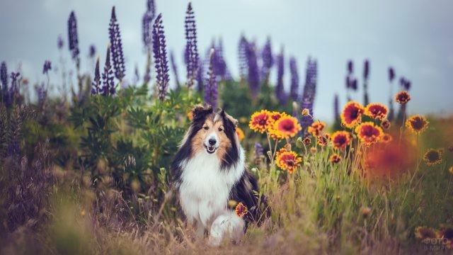 Трёхцветная колли в цветочном поле