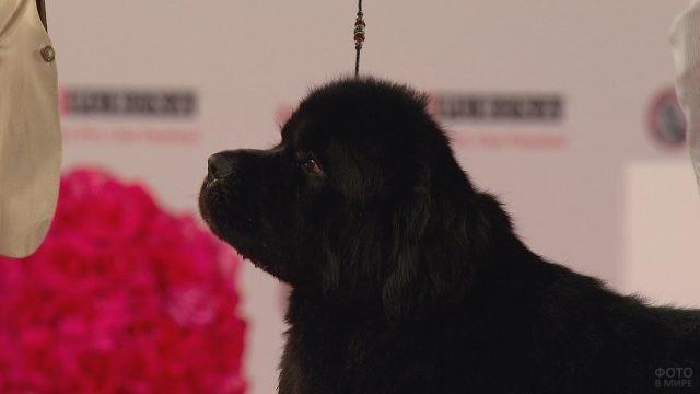 Чёрный щенок на поводке в помещении