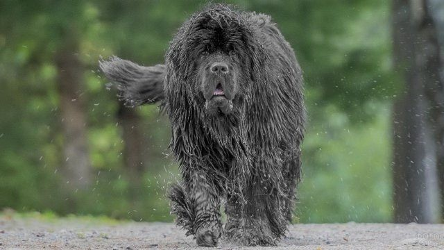Мокрая собака идёт по дороге в лесу