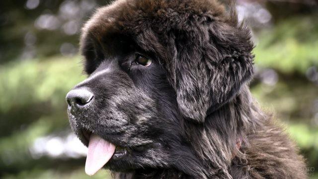 Пёс высунул язык на природе