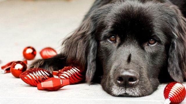 Портрет собаки среди красных игрушек