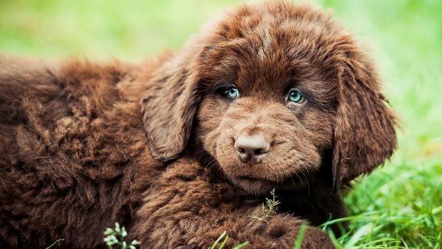 Щенок с голубыми глазами лежит в траве