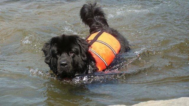 Служебная собака в спасательном жилете в воде