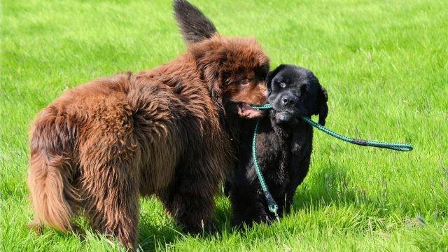 Собаки делят верёвку на газоне