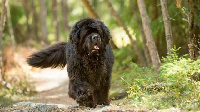 Уверенный пёс бежит по лесной тропе