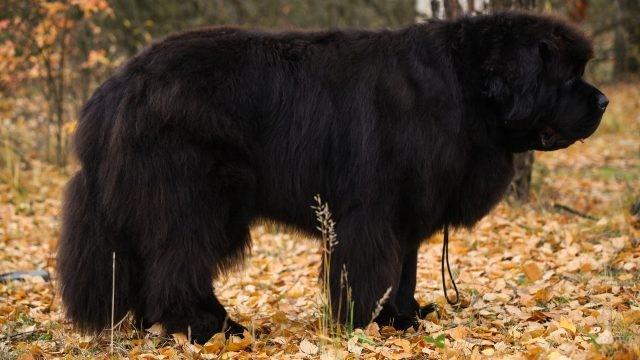 Вид сбоку на собаку породы ньюфаундленд в осеннем лесу