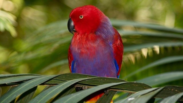 Благородный красно-синий попугай