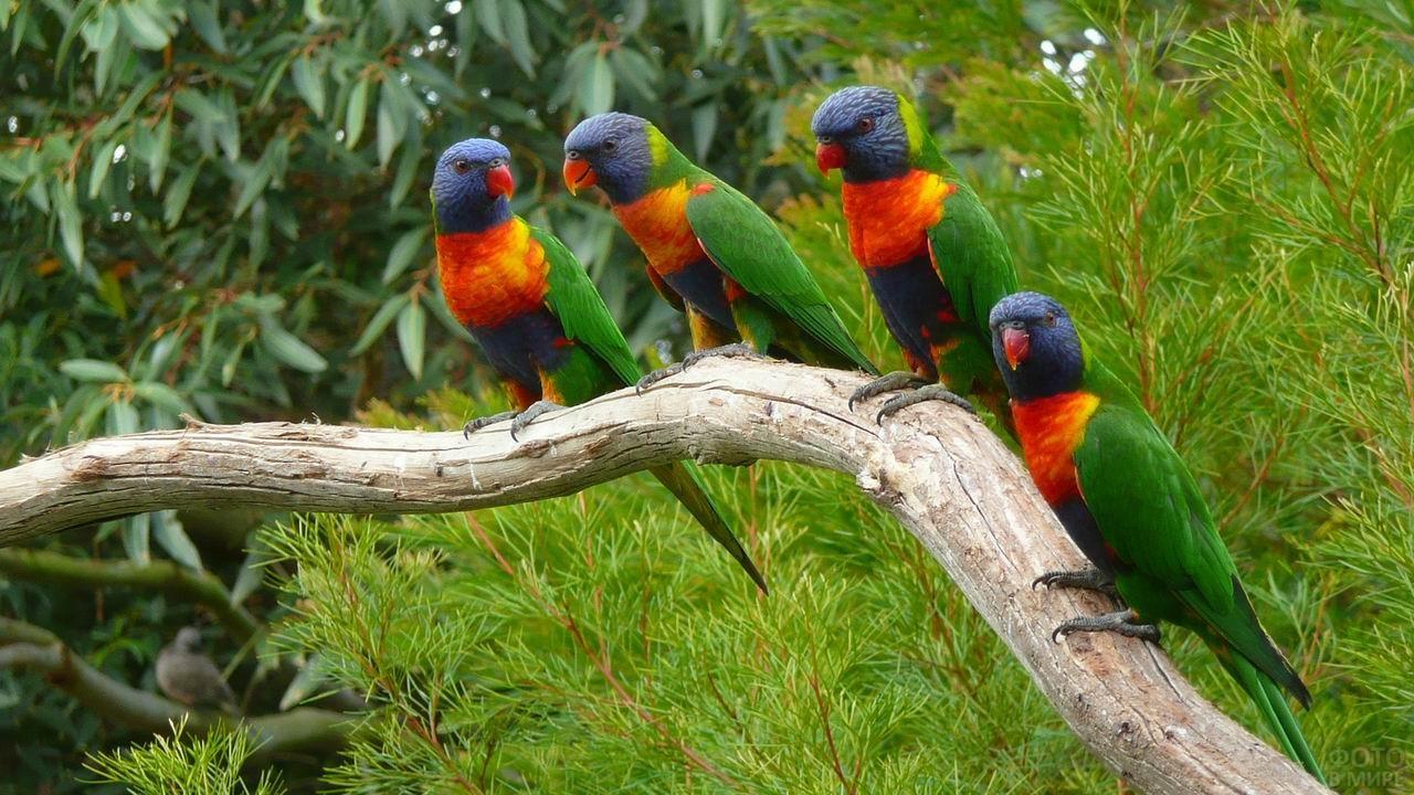 Четыре лориевых попугая сидят на ветке