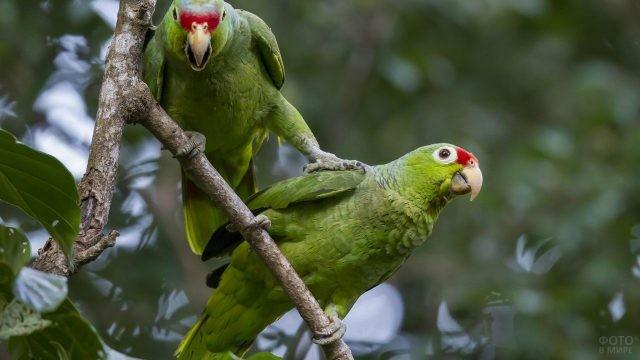 Два изумрудных попугая