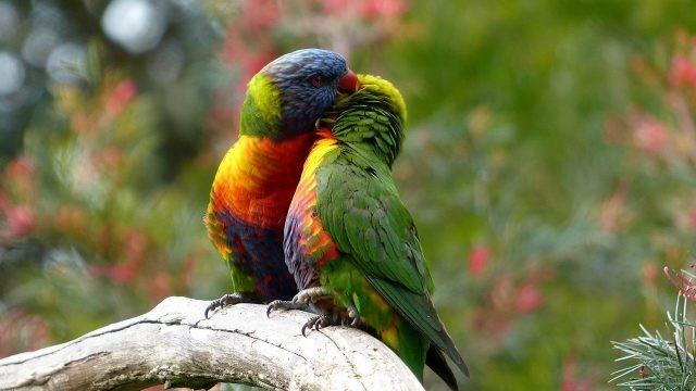 Два лориевых попугая чистят пёрышки друг другу