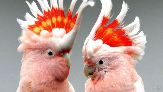 Два розовых попугая какаду с торчащими хохолками