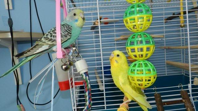 Голубой и жёлтый волнистые попугайчики