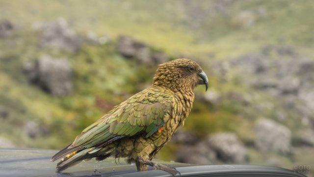 Хищный попугай кеа