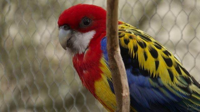 Красивый попугай розелла