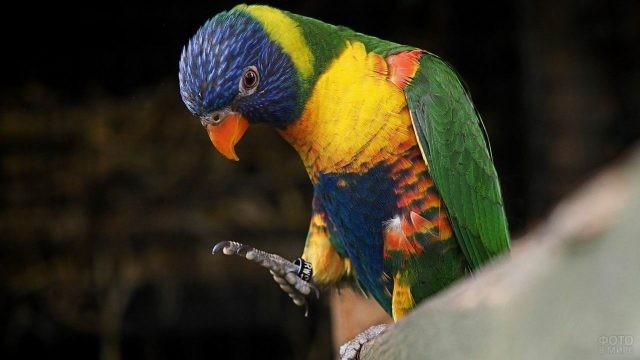 Лориевый попугай поднял лапку вверх