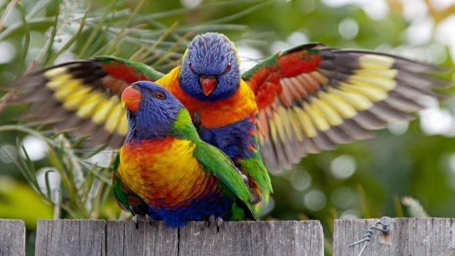 Один лориевый попугай сел на другого