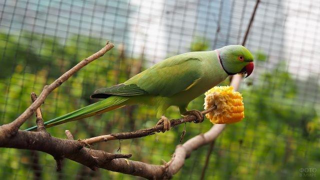 Ожереловый попугай ест кукурузу