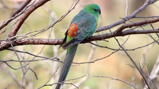 Певчий попугай сидит на дереве