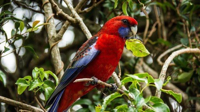Попугайчик розелла сидит на ветке