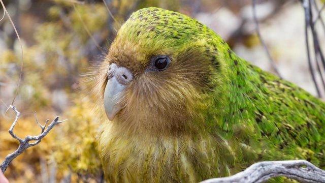 Совиный попугай крупным планом