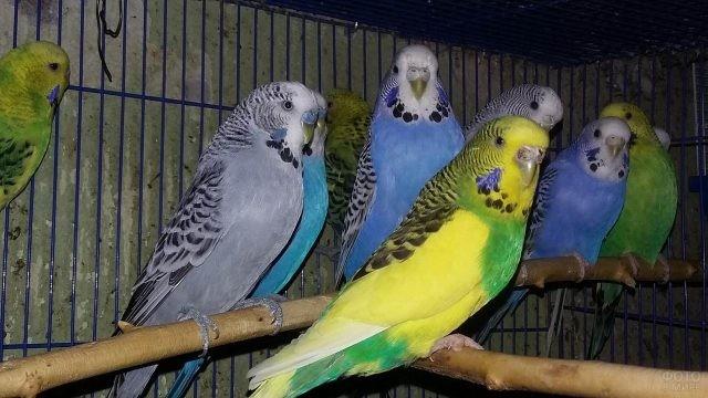Волнистые попугайчики в клетке