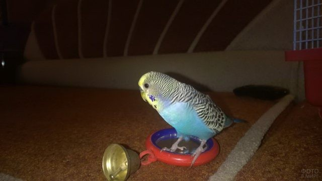 Волнистый попугай стоит на зеркале