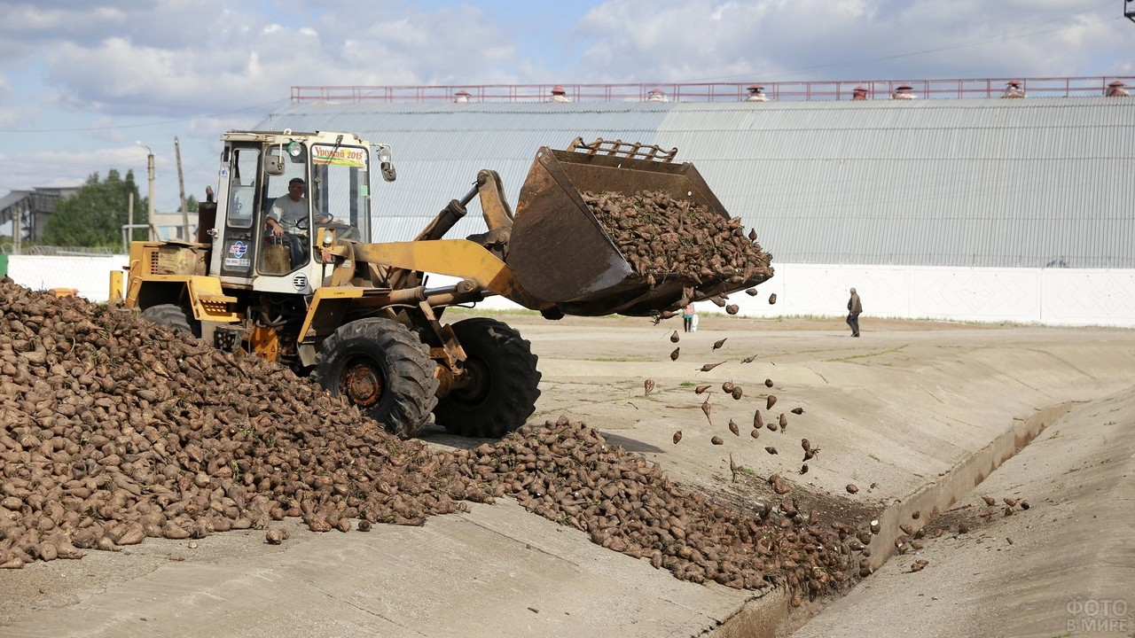 Трактор пересыпает сахарную свёклу в канаву