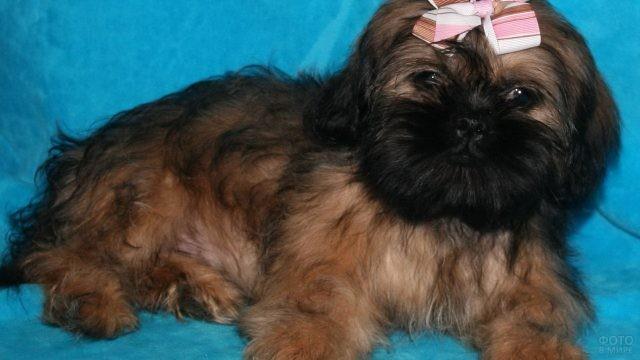 Чёрно-коричневая собака с бантом на синем диване