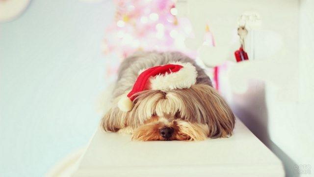 Коричневая собака в новогоднем колпаке спит на полке
