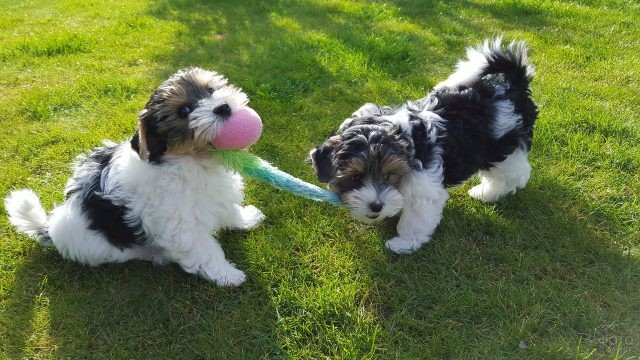 Маленькие собачки делят игрушку