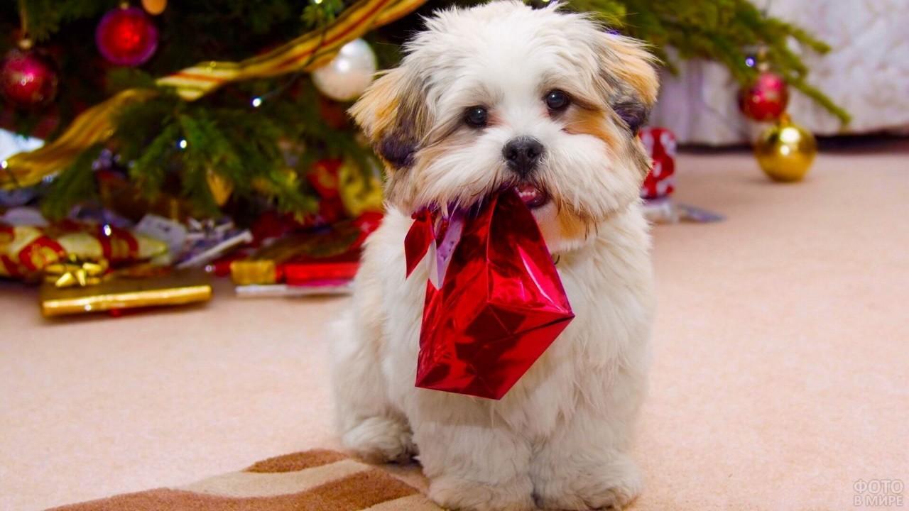 Милая собачка держит подарок в зубах у ёлки