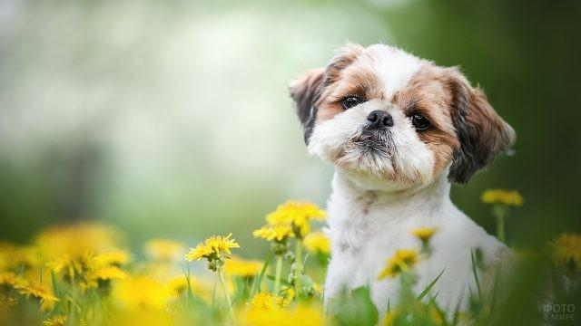 Милый пёс на одуванчиковом лугу