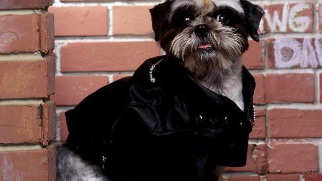 Пёс в чёрной куртке у кирпичной стены