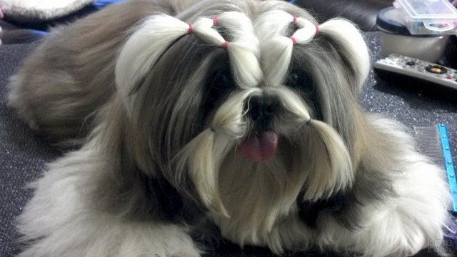 Причёска на мордочке ши-тцу
