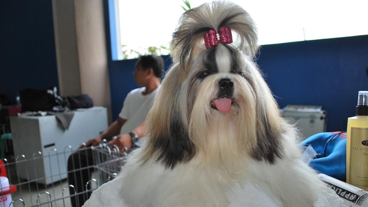 Собака высунула язык в помещении