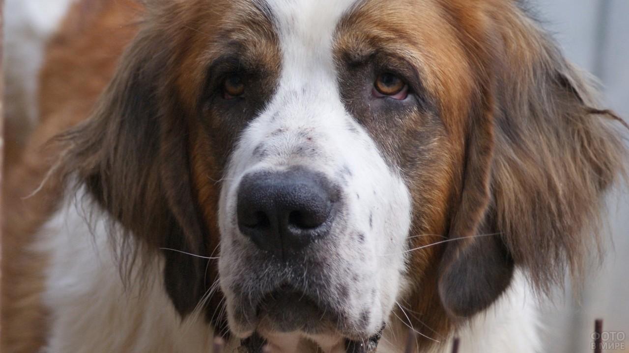 Портрет московской сторожевой собаки