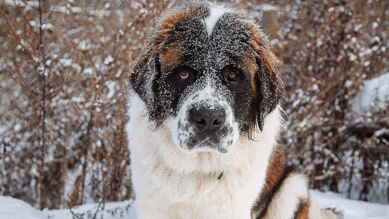 Собака с виноватым видом в снегу на зимней природе