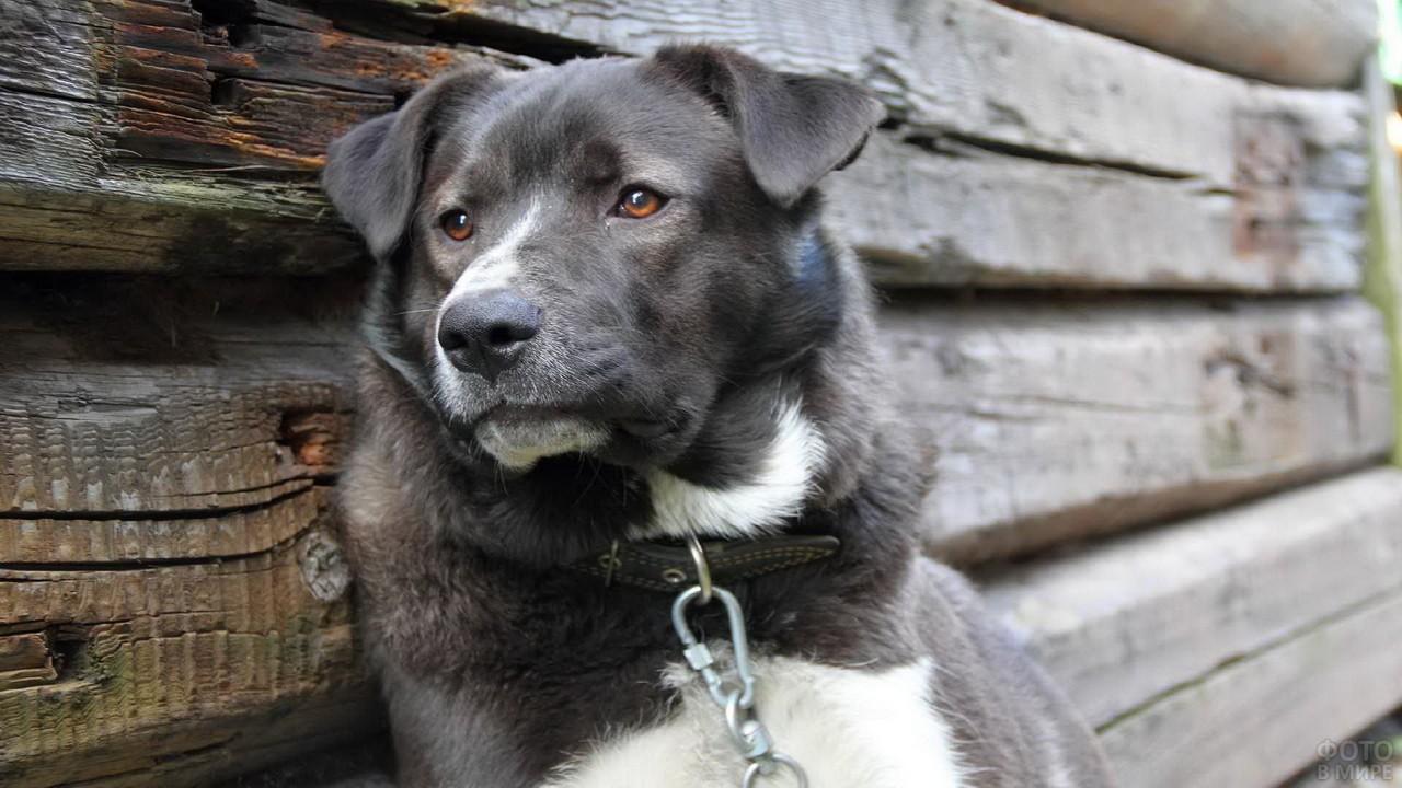 Чёрная собака облокотилась на деревянный дом